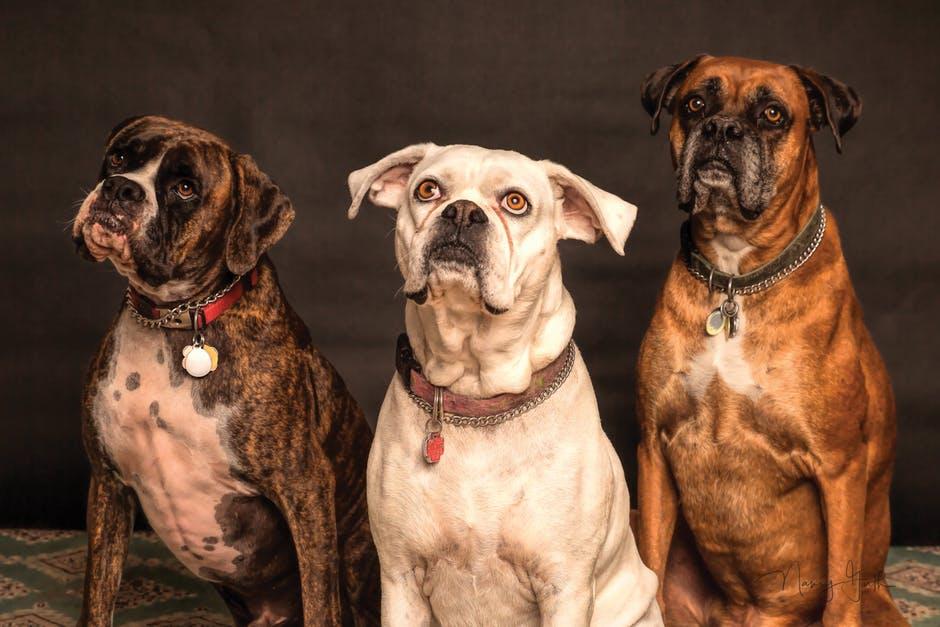 popularne psie obroże