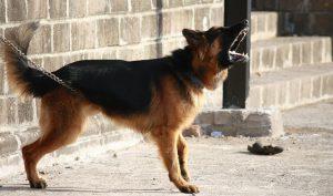 groźny pies na podwórku jest często spotykany
